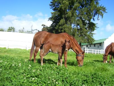 River Divine x Horse Chestnut colt