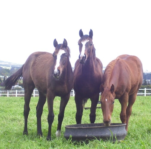 Yearlings with their woolly coats to keep out the chill